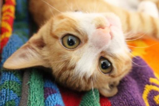 ねこ 猫 ネコ にゃんこ にゃん 子猫 子ねこ 子ネコ 茶白 茶トラ リラックス 見上げる かわいい 家猫 家ネコ 家ねこ 見つめる ネコカフェ 猫カフェ ねこカフェ ネコcafe 猫cafe ねこcafe 動物 ペット 家族 cat 哺乳類 ちんく