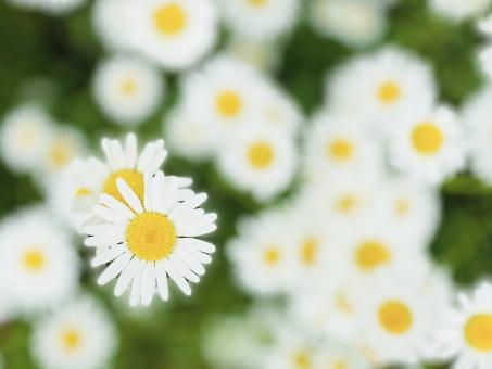 植物 明るい 花 かわいい 寄り添う おしゃれ カップル 園芸 ガーデニング 育てる 風景 複数 春 開花 花びら 咲く 綺麗 白 黄色 たくさん 背景 癒し 多年草 爽やか バックグラウンド 日光 群生 日当たり 洋風 季節 植える 野花 開放的 空間 菊 可憐 花粉 多い 素朴 自生 フランスギク 上から 生命力 耐寒性 野の花 花言葉 忍耐 フランス菊 寛容 マーガレット似