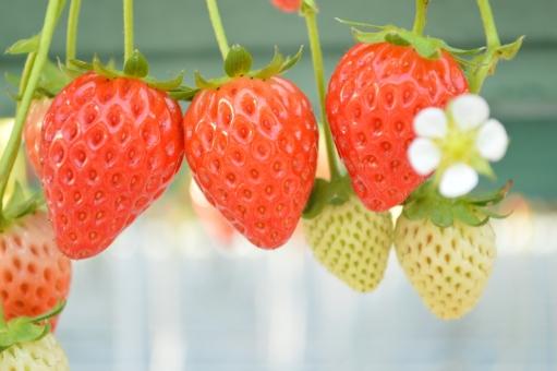 いちご イチゴ 苺 いちご狩り 可愛い 果物 フルーツ