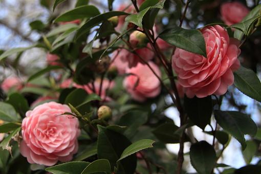 花 花びら 和 枝 小枝 自然 背景 かわいい 美しい 春 日本 満開 きれい 上品 シンプル 清楚 可憐 生花 アップ 樹木 植物 つぼみ ピンク 桃色 蕾 サザンカ さざんか 山茶花 冬