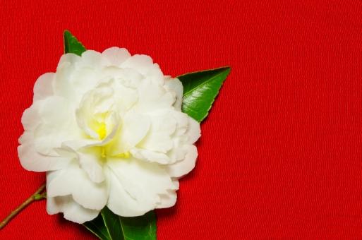 さざんか サザンカ 山茶花 花 白 秋 ツバキ 植物 チリメン 縮緬 ちりめん 赤 緑 葉 晩秋 初冬
