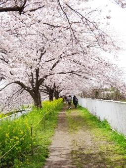桜 さくら サクラ sakura 日本 Japan 春 はる 3月 4月 桜の花道 桜街道 桜のトンネル 桜道 満開 花見 散歩 桜並木 花 花びら トンネル 菜の花 自然 植物 季節 風景 ロード 綺麗 人 歩く
