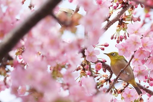 サクラ 桜 さくら 桜の木 花 フラワー 春 3月 4月 季節の花 春の花 華やか ピンク 新学期 カレンダー カレンダー用写真 ピンクの花 風景 植物 花の木 花見 日本 日本の花 入学式 公園 鳥 小鳥