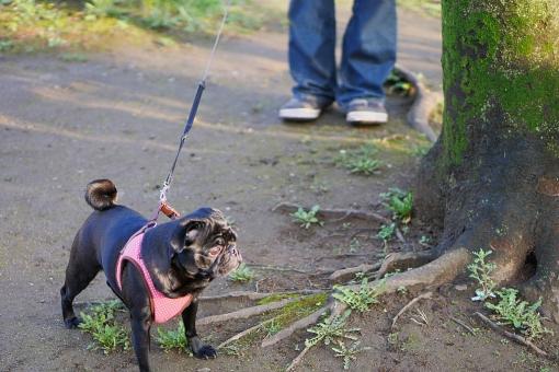 犬の散歩 犬 いぬ イヌ リード 散歩道 飼い犬 飼い主 パグ 黒パグ 黒い犬 小型犬 室内犬 ブサカワ 見つめる 木 自然 風景 木陰 屋外 気分転換 満喫 日課 好奇心 歩く 立ち止まる 人物 足 下半身 dog