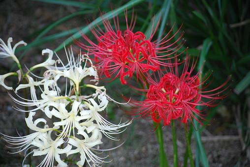 自然 風景 環境 植物 花 草花 観葉 手入れ 栽培 世話 水やり 植える 育てる ベランダ 庭 林 公園 花壇 癒し 咲く 開花 成長 土 観察 アップ たくさん きれい 美しい かわいい 彼岸花 曼珠沙華 白 赤