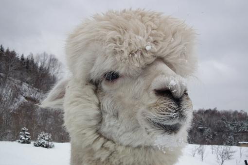 動物 アルパカ あるぱか お見合い写真 冬 冬の動物