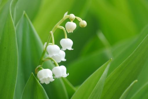 バックグラウンド 幻想的 テキストスペース コピースペース 草花 母の日 春の花 メッセージカード カード メッセージ 清潔 純白 清涼 清らか 美しい 園芸 かわいい スズラン 鈴蘭 すずらん ベル 可憐 可愛い 清楚 エステ 4月 マクロ ボケ クローズアップ アップ 可憐な花 可愛い花 四月 グリ-ン ロマンチック 白い花 五月 新緑 素材 爽やか さわやか 明るい イメージ 庭 5月 清々しい 涼しい 涼しげ 涼感 清涼感 ソフト 葉っぱ 植物 いやし リラクゼーション 健康 美容 背景素材 初夏 癒し やさしい 優しい バックイメージ バックグラウン バック 自然 公園 みどり 緑 葉 グリーン 背景 壁紙 春 4月 5月 白 花