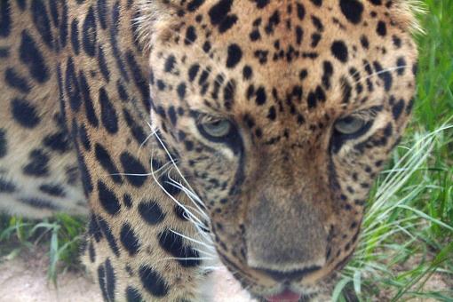 動物園 肉食 生き物 アニマル 豹 ひょう ヒョウ 目力