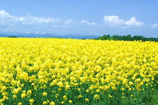 菜の花 菜の花畑 植物 花 畑 文字スペース テキストスペース 快晴 晴れ 自然 黄色 青空 風景 花畑 北海道 雄大 観光地 広がり 好天 日本の風景 名所 旅行 景観 日本一 有名 農家 田園 農業 田舎 農地 なのはな コピースペース 黄 きいろ 丘 空 春 観光 農園 観光客 爽やか さわやか 絶景 油 是系地