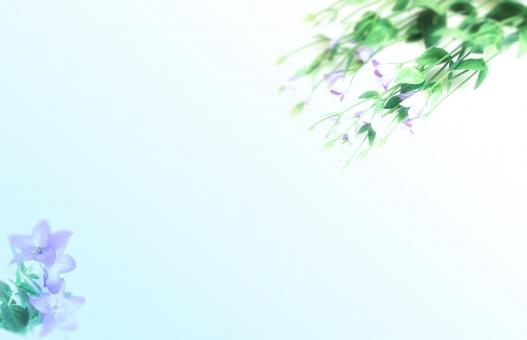 桔梗と淡いブルーボカシの写真