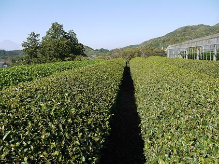 日本 東海 静岡 伊豆 自然 空 青 青空 一色 晴天 天気 晴れ 爽やか 植物 木 樹木 森林 山 山脈 茶畑 茶 緑 ビニールハウス 栽培 室外 屋外 無人 風景 景色