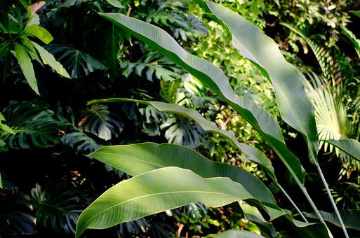 葉 葉っぱ 葉脈 緑 背景 植物 自然 明るい 屋外 アップ クローズアップ 接写 ガーデニング 園芸 栽培 趣味 鮮明 熱帯 亜熱帯 熱帯植物 観葉植物 鑑賞 茎 森 ジャングル