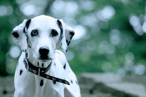ダルメシアン 犬 かわいい 明るい 動物 生き物 ペット ペットショップ トリミング 動物病院 家族 愛犬 ドッグフード 屋外 飼い犬 癒し 自然 散歩 首輪 アップ 成犬 白黒 ブチ 斑点 カメラ目線