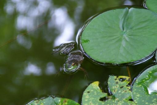 ウシガエル うしがえる 牛蛙 かえる カエル 蛙 外来種 すいれん スイレン 睡蓮 浮かぶ 水面 特定外来種 外来生物 睡蓮に蛙 節気 季節 節季 二十四節気 芒種 水無月