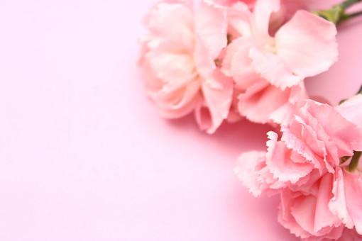 花 カーネーション 母の日 ピンク バック コピースペース 淡い 年中行事 切り花 植物 かわいい イベント ソフトフォーカス