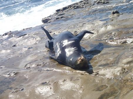 風景 サンディエゴ 海 アシカ 動物 ラ・ホヤ ラホヤ カリフォルニア