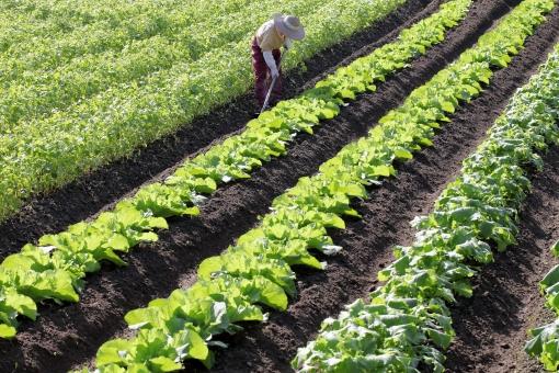 野菜畑の写真