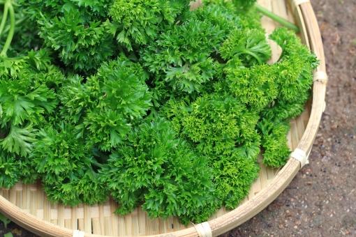 畑 作物 自家栽培 野菜 ベジタブル 草花 栽培 6月 六月 7月 七月 8月 八月 とてたて 新鮮 パセリ ぱせり