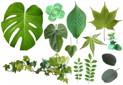 パス入りの使いやすい葉っぱの写真