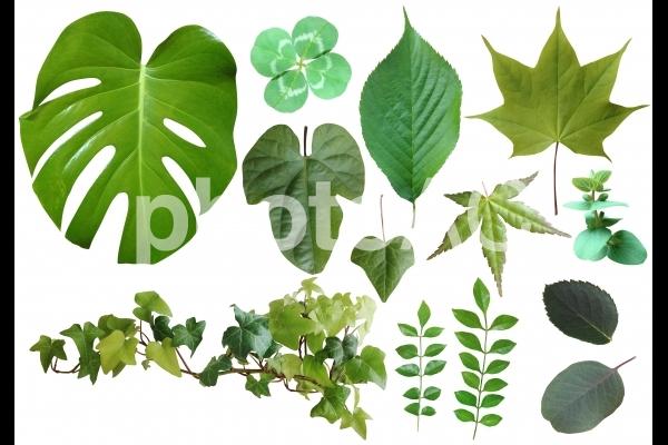 使いやすい葉っぱの写真