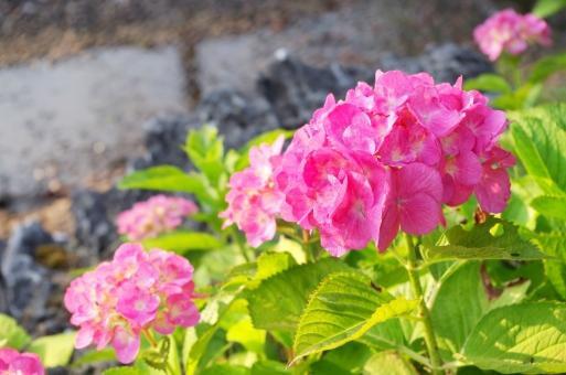 初夏 6月 梅雨 アジサイ あじさい 紫陽花 花 植物 自然 夏 赤 赤紫 ピンク 緑 葉
