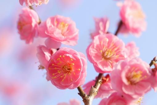 華やかな梅の写真