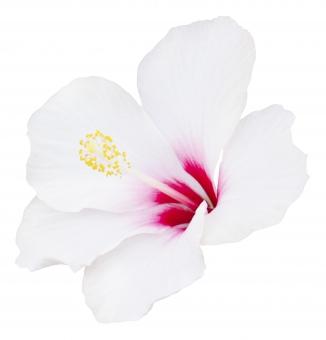 夏 ハイビスカス 植物 フラワー 花弁 花びら 生花 白背景 白バック ホワイトバック 熱帯 花 お花 南国 7月 7月 七月 8月 8月 八月 白い花 パス切り抜き 切り抜き クリッピングパス パス 切抜き 暑い 熱帯植物 夏休み 南の国 バケーション