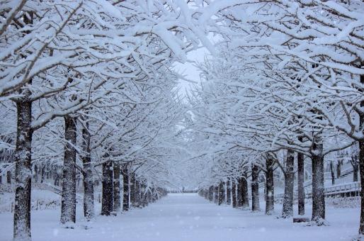 福島市 あづま総合運動公園 いちょう 銀杏 イチョウ 並木 雪 冬 寒い 寒 白 白い 雪景色 耐える 寂しさ さみしさ ストリート 木 木々 凛と 凜と 静けさ 静寂 しんしんと