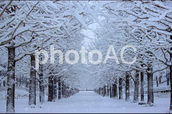 イチョウ並木_冬の写真