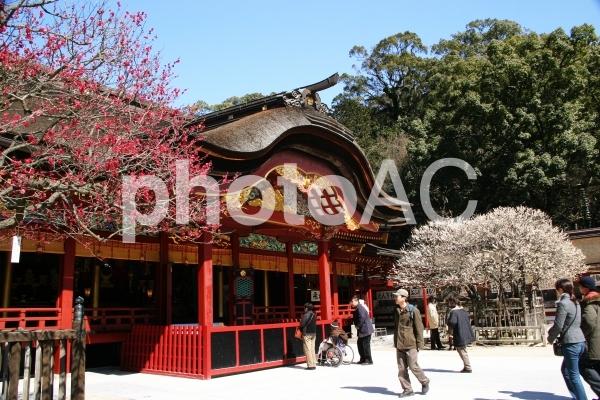 「太宰府天満宮」神社と飛梅の写真