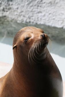 カリフォルニアアシカ 海獣 愛媛とべ動物園 海の生き物 海の芸達者