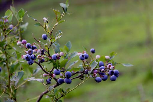 ブルーベリー 木の実 果実 種 実 空 外 屋外 景色 風景 樹木 自然 樹 木 植物 葉 緑 枝  紫の実 夏 収穫 食べ物 小枝 剪定 アントシアニン