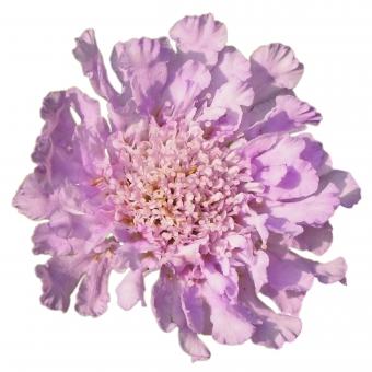 【パス入り】日に当たる紫のスカビオサの写真