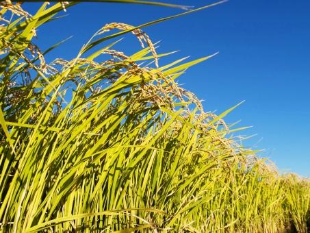 稲 稲穂 米 秋 しだれ こうべ 実り 収穫 農業 水稲 圃場 農場 青空 空