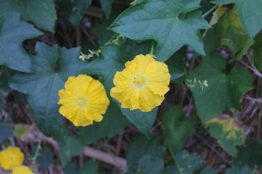 「ac 写真 糸瓜の花」の画像検索結果