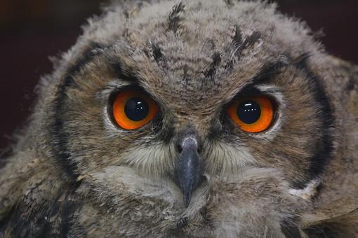 ふくろう フクロウ 梟 鴞 動物界 脊索動物門 鳥綱 フクロウ目 フクロウ科 フクロウ属 鳥 とり トリ 動物 生き物 毛 毛並み 顔 夜行性 動物園 野生 自然 肉食 飼育 ペット みみずく