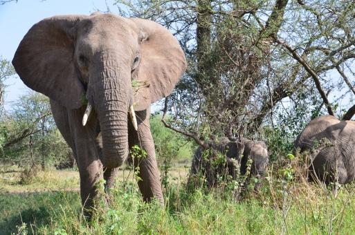 アフリカ ゾウ 野生 Africa Tanzania elephant 背景 夏 木 草 動物 ぞう 空 風景