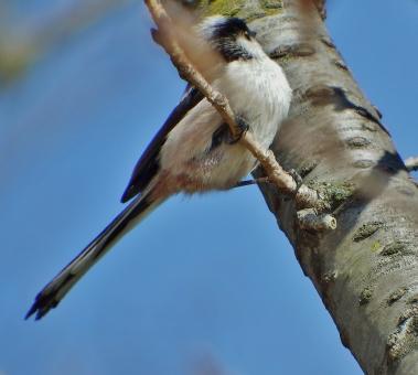 小鳥 囀り 桜とエナガ 集団 飛び跳ねる 遊戯