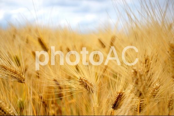 麦秋の写真
