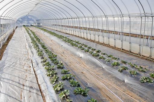 屋外 野外 外 室内 ビニールハウス 温室 ハウス 栽培 育てる 成長 農業 土 風景 自然 食物 食べ物 野菜 生産 農家 管理 施設 設備 植物