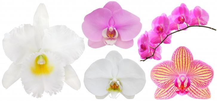 胡蝶蘭に関する写真写真素材なら写真ac無料フリーダウンロードok