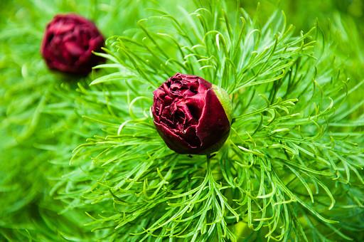 細い葉 赤い花 蕾 つぼみ 花 お花 フラワー 背景 植物 きれい 咲く 晴れ  風景 自然 明るい  屋外 花びら 園芸 ガーデニング 葉 葉っぱ アップ 接写 綺麗 細かい 細い