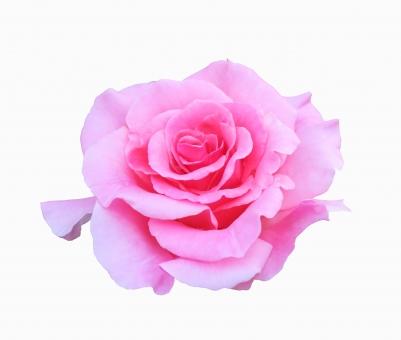 ピンクのバラ(切り抜き・PSD)の写真