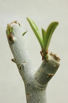 植物 自然 茎 枝 葉 緑 野生 自生 アップ クローズアップ ぼかし 樹皮 樹木 樹 木 新芽 幹  伸びる 白バック 観葉植物 葉っぱ 若葉 植木 木肌 新鮮