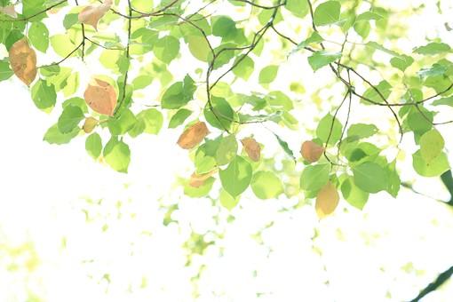 葉 緑  新緑  日本  自然 植物 屋外 壁紙 背景 背景素材 バックグラウンド 光  環境 エコ   さわやか 爽やか 初夏 森 森林 木  木々 葉っぱ 枝 木漏れ日 こもれび