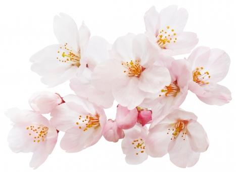 桜(切抜きパス付き)の写真