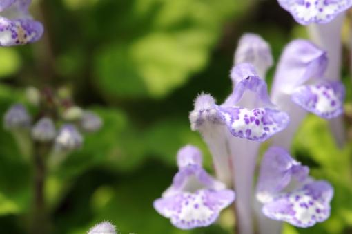 植物 草 花 紫 横位置 余白 マクロ 拡大 シソ科 立浪草 常緑宿根草 唇