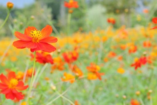 コスモス 花 植物 秋桜 秋 初秋 九月 9月 赤い 赤 赤いコスモス red 鮮やか 艶やか collar カラー 自然 風景 景色 景観 壁紙 背景 テクスチャ 素材 明るい 朗らか カワイイ 可愛い かわいい 綺麗 キレイ きれい 素敵 ステキ 可憐 密集 群生 花言葉 たくさん いっぱい 秋の色 autumn 愛らしい 花びら 花粉 彩り 優しい フンワリ ふんわり 陽射し 日差し green 緑 緑色