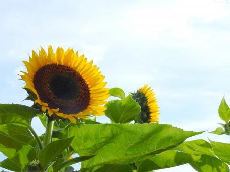 ひまわり ヒマワリ 向日葵 花 夏 夏の花 空 雲 屋外 外 晴れ 晴天 空とヒマワリ 空とひまわり 空と向日葵 ひまわりの種 植物 自然 風景 背景 黄色い花 黄色 素材 材料 季節 7月 8月