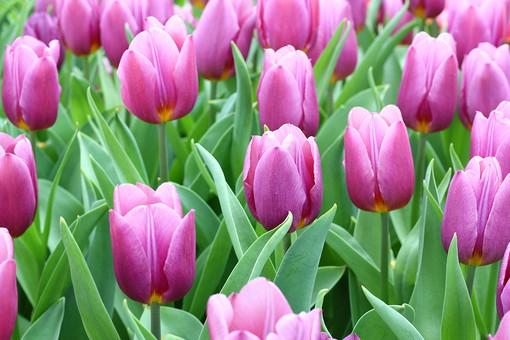 自然 風景 スナップ 旅行 植物 花 あざやか 原色 人気 チューリップ オランダ ポピュラー 花びら 花弁 茎 栽培 ガーデニング 庭園 植物園 温室 見頃 満開 旬 季節 ピンク きれい